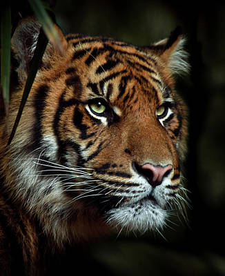 The Tiger Poster by Animus Photography