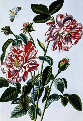 The Variegated Rose Of England Poster by Pierre-Joseph Buchoz