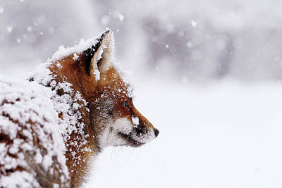 The Winterwatcher - Red Fox In The Snow Poster by Roeselien Raimond