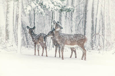 Three Deer Come Calling Poster by Karol Livote