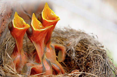 Three Hungry Robin Chicks In Nest Reaching With Open Mouths For  Poster by Reimar Gaertner