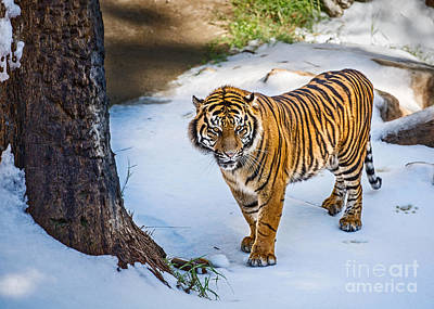 Tiger In Snow Poster by Jamie Pham