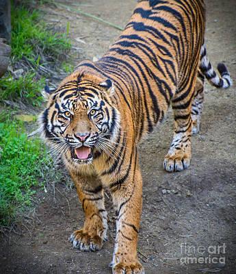 Tiger Smile Poster by Jamie Pham