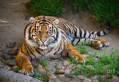 Tiger Stare Poster by Jamie Pham