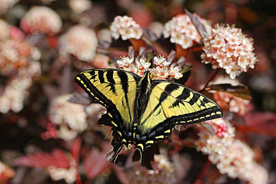 Tiger Swallowtail Butterfly Poster by Jennie Marie Schell