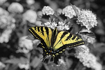 Tiger Swallowtail Butterfly Selective Color Poster by Jennie Marie Schell