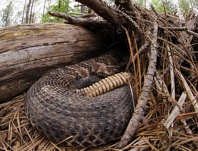 Timber Rattlesnake Poster by Eric Abernethy