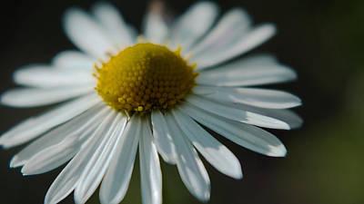 Tiny Daisy Wild Flower Poster by Karen Musick
