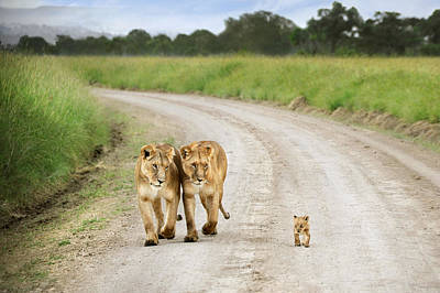 Tiny Lion Cub Poster by David Lazar