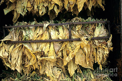 Tobacco Leaves Drying Poster by Inga Spence