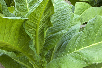 Tobacco Leaves Poster by Inga Spence