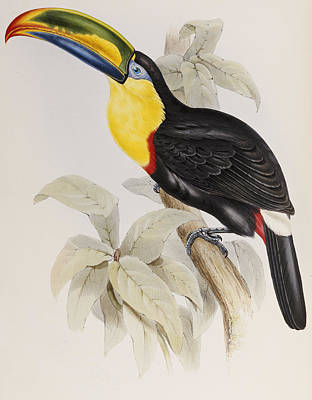 Toucan Poster by John Gould