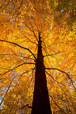 Tree Aflame Poster by Linda Unger