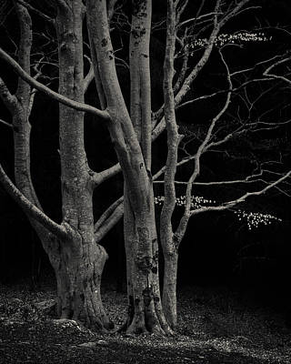 Beech Tree Poster by Dave Bowman
