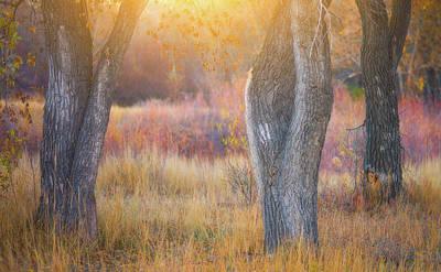 Tree Trunks In The Sunset Light Poster by Darren White