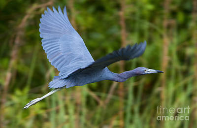 Tricolored Heron Flight Poster by Mike Dawson