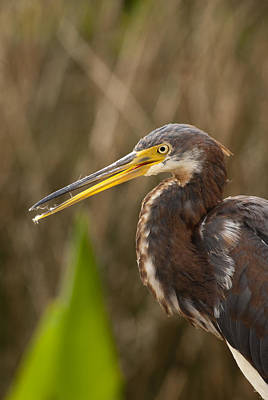 Tricolored Heron Poster by W Scott Morrison