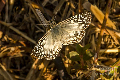 Tropical Checkered-skipper Poster by Nancy L Marshall
