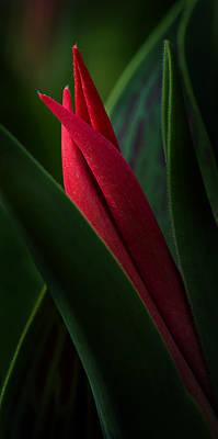 Tulip Bud Glow Poster by Mary Jo Allen