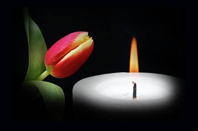 Tulip In Candle Light. Poster by Terence Davis