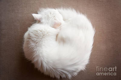 Turkish Angora Cat Curled Up Poster by Arletta Cwalina