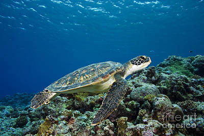Turtle Above Reef Poster by Dave Fleetham - Printscapes