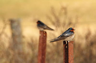 Two Birds - Welcome Swallows Poster by Virginia Halford