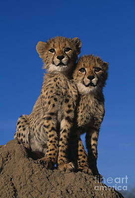 Two Cheetah Cubs Poster by Martin Harvey and Photo Researchers