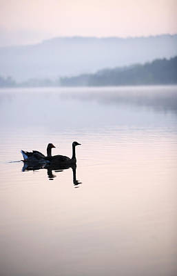Two Geese On Lake With Fog And Forested Poster by Gillham Studios