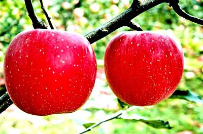 Two Red Apple On Tree Poster by Lanjee Chee