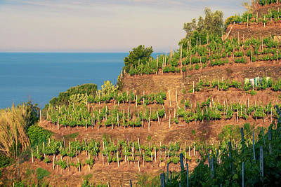 Vernazza Vineyards Poster by Joan Carroll