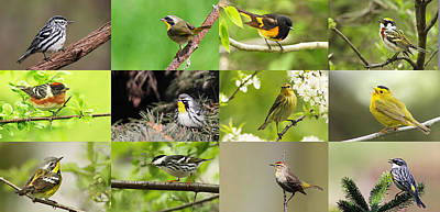 Warblers In Spring Poster by Mircea Costina Photography