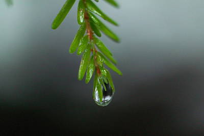 Water Drop Dripping From Pine Needles Poster by Jeff Swan