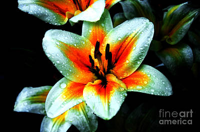 Water Droplet Covered White Lily  Poster by Andee Design