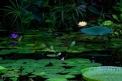 Water Lilies In The Pond Poster by Bonnie Follett