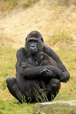 Western Gorilla And Young Poster by Jurgen & Christine Sohns/FLPA