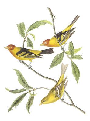 Western Tanager Poster by John James Audubon