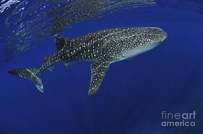 Whale Shark Near Surface With Sun Rays Poster by Mathieu Meur