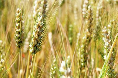 Wheat In The Sun Poster by Elena Riim