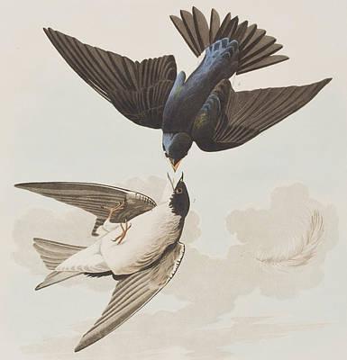 White-bellied Swallow Poster by John James Audubon
