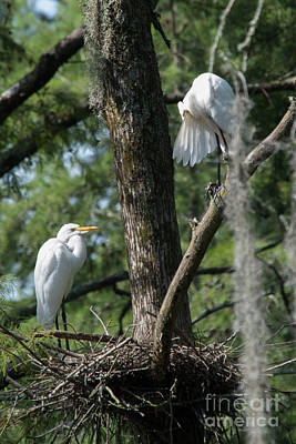 White Herons At Nest Poster by Alicia Collins