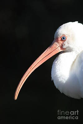 White Ibis Profile Poster by Carol Groenen