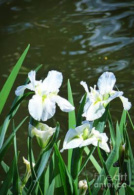 White Irises. Poster by Trudee Hunter