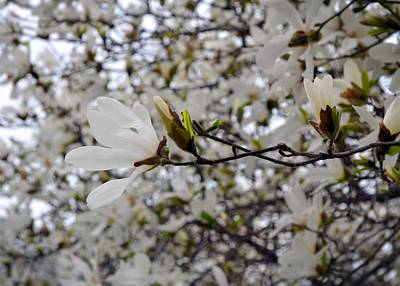 White Magnolia Poster by Michelle Calkins