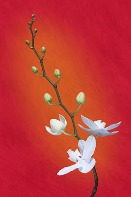White Orchid Buds On Red Poster by Tom Mc Nemar