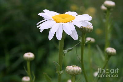 White Shasta Daisy With Buds Poster by Kay Novy