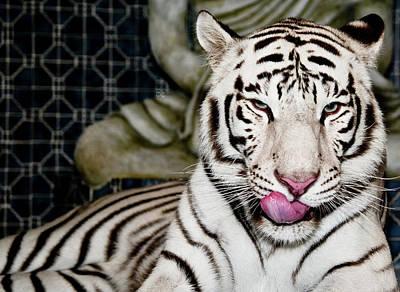 White Tiger Poster by Jim DeLillo