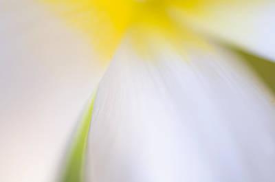 White Tulip Detail Poster by Silke Magino