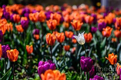 White Tulip Poster by Patrick Shupert