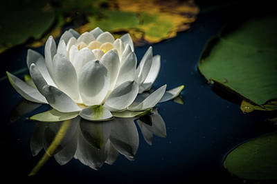 White Water Lily Poster by Paul Freidlund
